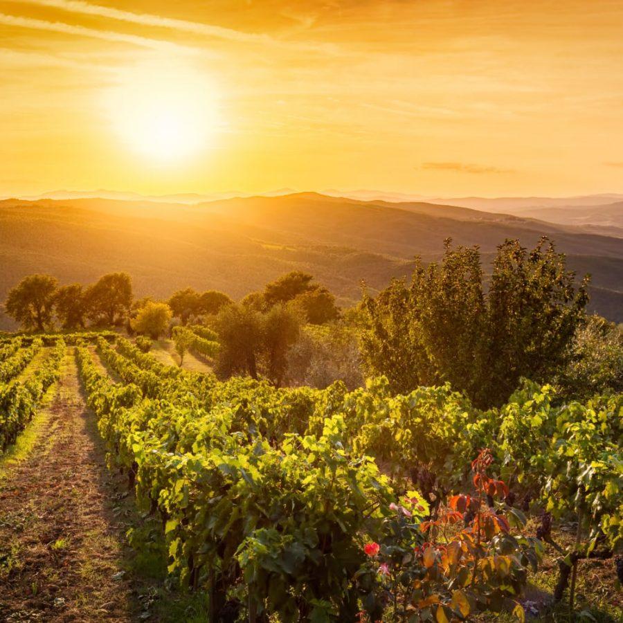 vineyards in Montalcino at sunset
